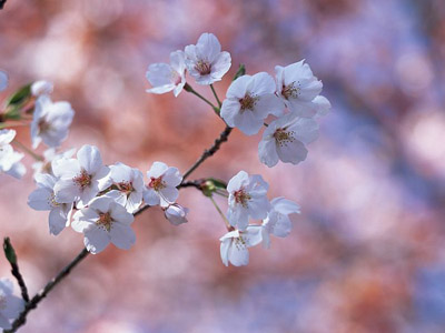Cherry (Sakura) Blossom